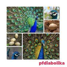Uova di pavone comune fertili o pavone bianco
