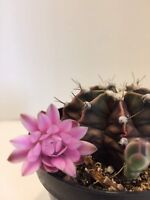 "Pretty Gymnocalycium mihanovichii fredrichii cactus succulent live plant 2.5"" #7"