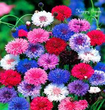 Aciano alto Batchelor's botón - 420 semillas-Centaurea Cyanus-Doble Bola