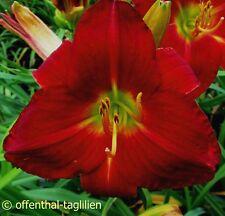 "Hemerocallis ""Abex"" Taglilie"