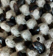 50x Cuban Burrowing cockroach (Byrsotria fumigata) Roach Nymphs Colony