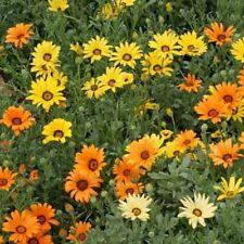 African Daisy (Dimorphotheca Aurantiaca)- Mixed colors- 100 seeds