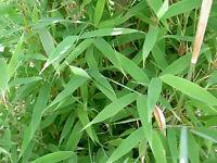 verschiedene Sorten von Fargesia jiuzhaigou bis Fargesia utilis Fargesia