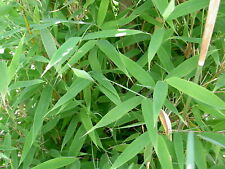 Fargesia Murielae -Heckenbambus- 15 Samen      *Absolut Winterhart*