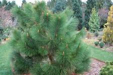 Pinus YUNNANENSIS-PINO DELLO YUNNAN - 10 Semi