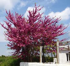 Arbol del Amor  CERCIS SILIQUASTRUM 12 Semillas - Jardín Árboles - Garden Trees
