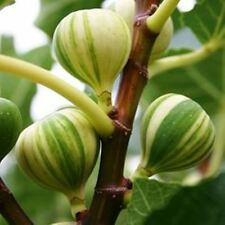 Honey Fig Seeds - Juicy - Wild - Very Sweet - Organic - Rare - Aussie Stock