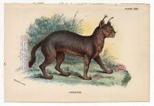 Caracal Cat Wild Feline Original c1896 Chromolithography Print