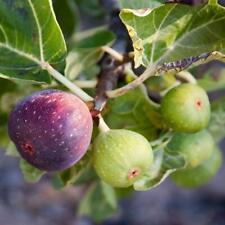 Ficus carica Rouge de Bordeaux-Fig Plant in 9 cm pot