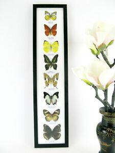 8 papillons exotiques réel - une beauté unique - taxidermie Naturalise  8er h 85