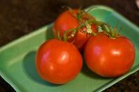 Buschtomate SUB ARCTIC 10 Samen Solanum Lycopersicum ursprüngliche Sorte  Tomate
