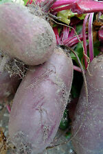Rote Beete MAMMUT bis zu 10 KG schwere Rüben 50 Samen Riesen