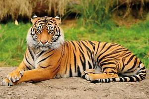 Fototapete Tiger Tapete Wandtapete Wanddeko Deko Bild Wandbild XXL 210x140cm