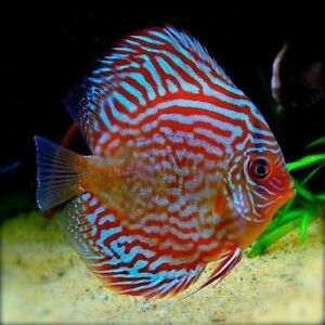 2 Pack Live Super Red Turquoise Discus Fish CHEAP NEXT DAY AIR SHIPPING!