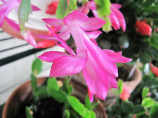 Pink Magenta Purple Christmas Cactus Cutting, Thanksgiving, Schlumbergera Plant