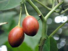 Red Tamarillo, solanum betaceum, Tree Tomato, 100 Seeds