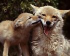 Coyote / Coyotes 8 x 10 / 8x10 GLOSSY Photo Picture