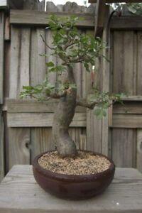Baobab Bonsai Tree Seeds - 5 Seeds to Grow - Highly Prized Baobab Tree - Ships f