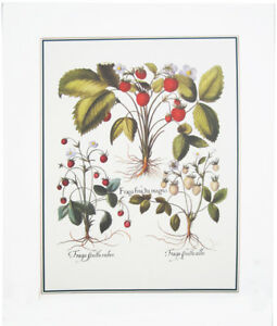 Vintage Botanical Print by Besler (MR14525)