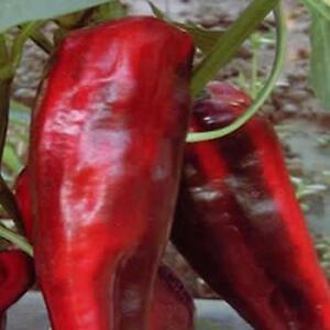 Sweet Pepper - F1 Thor - 7 Seeds