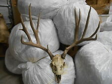 26 0/8 WIDE 6x5 FULL SKULL TROPHY Colorado MULE DEER antlers whitetail mount elk