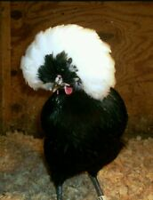 White crested polish chicken hatching eggs