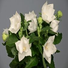 Balloon Flower Seeds - ASTRA SEMI-DOUBLE WHITE - Perennial Platycodon -10 Seeds