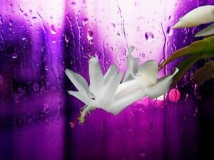 """True Christmas Cactus plants 1 Bare Rooted 2"""" to 3"""" White Flowers"""