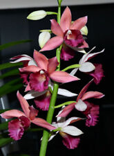 "Bin) Phaius Lady Ramona 'Looking @ You' Cattleya Orchid Plant 2 1/2"" Pot Nbs"
