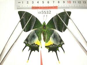 SK5532 # Unmounted Butterfly Teinopalpus imperialis North Vietnam