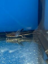 Beautiful Tiger Shovelnose Catfish 2-3 Inches Imported