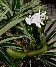 Rare Succulent Seeds - Pachypodium lamerei - 25 seeds