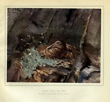 DUCK, WATERFOWL, EIDER DUCK SITTING ON NEST ALONG ROCK LEDGE, COLOR DUCK PRINT