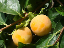 hardy fruit, Japanese Persimmon or Sharon Fruit DIOSPYROS KAKI, juicy and sweet