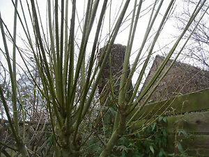 Weidenstecklinge 40 cm Korbmacherweide Salix viminalis 15 oder 30 Stück
