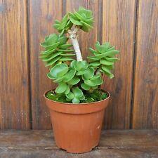 crassula / portulaca molokiniensis Ø 12cm R 1580 spilly cactus caudex succulente
