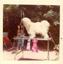 Photo Color Square Snapshot Champion Show Dog Tibetan Terrier (?) Calif.