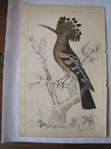 Bird 1800's Antique Hand Colored Engraved Print Oliver Goldsmith Fullarton Co.