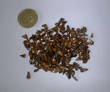 Nikko Fir, Abies homolepis, Christmas Tree, Evergreen, Bonsai, 25 Seeds