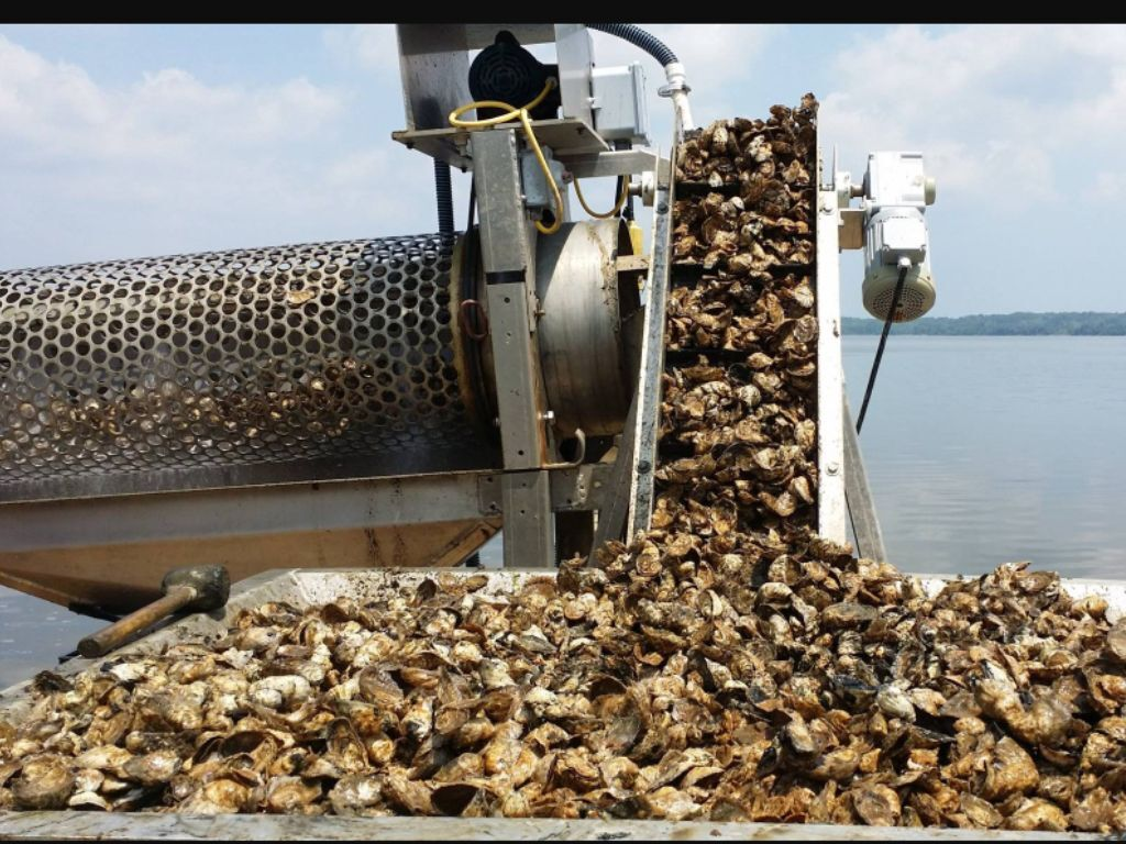 A Lot Of Oysters