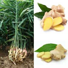 100Pcs Ginger Seeds 4 Seasons Jengibre Zingiber Seed Home Garden Plant Farm Seed