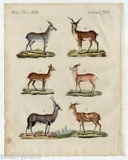 Antilopen-Gazellen-Tiere - Kupferstich-Bertuch 1800 Animals