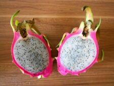 Pitahaya Rote Drachenfrucht 100 Samen *Weißfleischig*