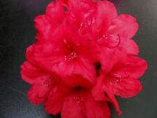Rhododendron großblumige Hybride Hachmanns Feuerschein 30-40cm Frühlingsblüher