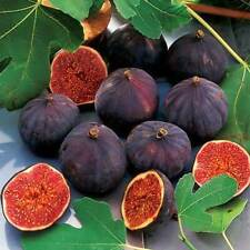 Fig Seeds Bonsai Fruit Plant Seeds Exotic Fruit Delicious Figs Home Garden