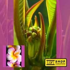 Plumeria rubra CHOMPOO SIN Frangipani blühfähig