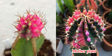 "Gymnocalycium mihanovichii variegata ""Pink Diamond"" grafted plants (50)"