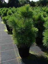 Pinus parviflora Negishi - Japanische Mädchenkiefer -  60-70 cm