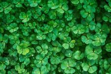 New Zealand White Clover,  200+ seeds op/heirloom