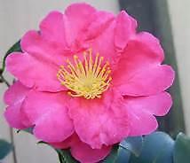 "Bob Wines Camellia Gardens 18-30"" Camellia Sasanqua ShiShi Gashira NO Shipping!"